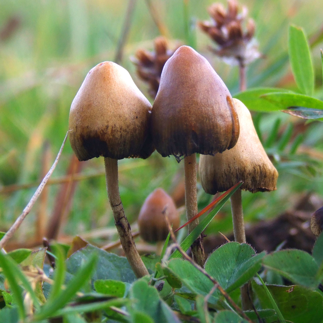Magic mushrooms, are they the next Prosac